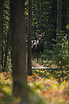 A cow moose in the forest
