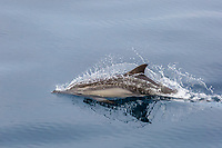 long-beaked common dolphin, Delphinus capensis, surfacing, jumping, Isla Danzante, Baja California Sur, Mexico, Pacific Ocean