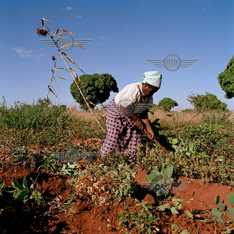Woman harvesting ground nuts in her garden near the village.  Sorghum has been planted between the rows of ground nuts for use as a snack during work..