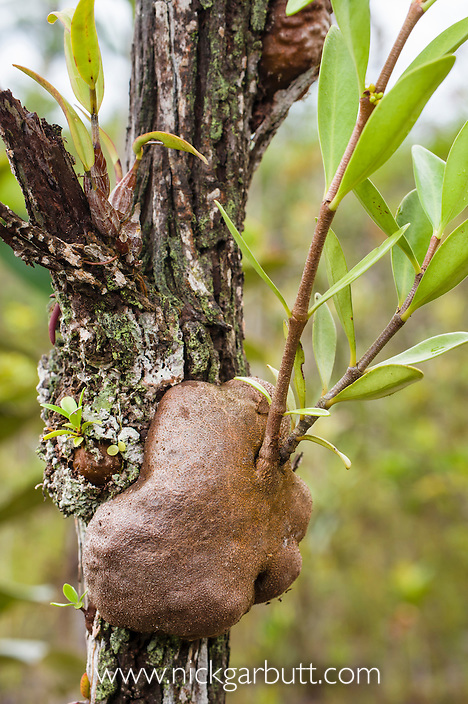 Swollen tuber of Ant Plant (Myrmecodia tuberosa)(Rubiaceae) in coastal heath forest. Bako National Park, Sarawak, Borneo.