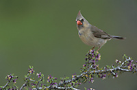 Northern Cardinal, Cardinalis cardinalis,female on blooming Guayacan (Guaiacum angustifolium) , Starr County, Rio Grande Valley, Texas, USA