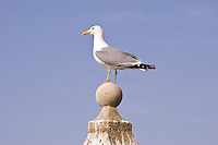 Herring Gull, Castillo,  Alicante, Spain