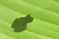 Emerald Glass Frog, Centrolene prosoblepon, silhouette of adult on banana leaf, Central Pacific Coast, Costa Rica, Central America, December 2006