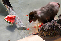 A macaque refreshes with a frozen watermelon at the Bioparco of Rome, Italy, August 8, 2017. Rome temperatures exceeded 40 degrees C.<br /> UPDATE IMAGES PRESS/Riccardo De Luca