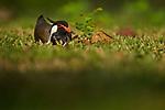 Red-wattled Lapwing (Vanellus indicus), Diyasaru Park, Colombo, Sri Lanka