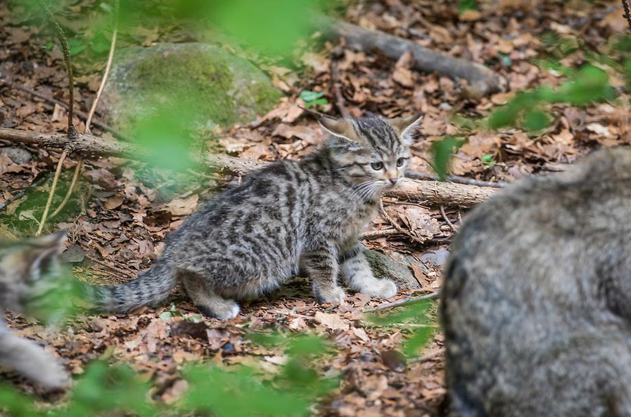 Wilde kat (Felis silvestris), jongen