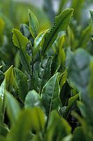 Asie/Japon/Nara: Détail de feuilles de thé
