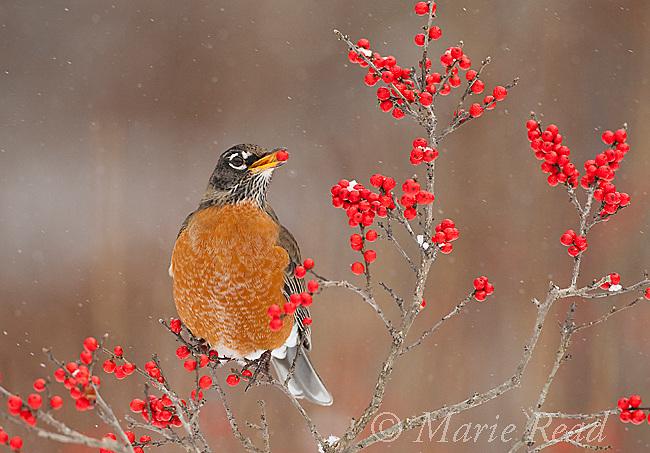 American Robin (Turdus migratorius), feeding on winterberry (Ilex) fruits in winter, New York, USA