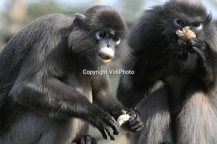 Foto: VidiPhoto..ARNHEM - Voor de apen van Burgers' Zoo in Arnhem is Pasen al begonnen. De brillangoeren en de goudwanggibbons werden donderdag door de verzorgers verrast met gekookte paaseieren. De dieren lieten zich de onverwachte en zeldzame surprise uit een Paasmand nogal smaken. Het normale voedsel van de apen is verse bladeren en fruit. Op gekookte eieren zijn de aapjes echter enorm verzot..