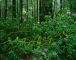 Jedediah Smith Redwoods State Park, CA<br /> Flowering Rhododendron (R. macrophyllum) in an old growth forest of Redwood and Douglas Fir