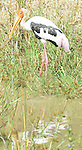 Yala National Park Sri Lanka<br /> Painted Stork