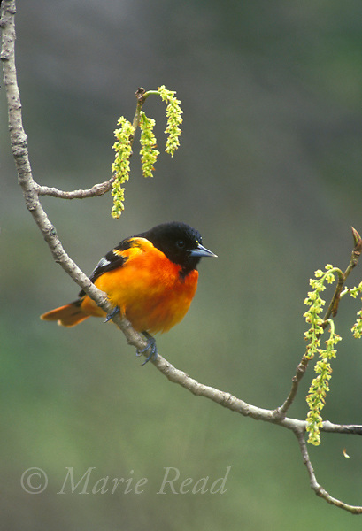 Baltimore Oriole (Icterus galbula) male perched with catkins in spring, New York, USA<br />  Slide # B166-51