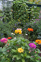 Mixed annual zinnias in the garden. Thunbergia alata Clock vine, Mondarda, house, back garden