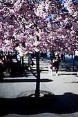 Rosa japanskt träd, stad, körsbärsblom, WSJ, Japan