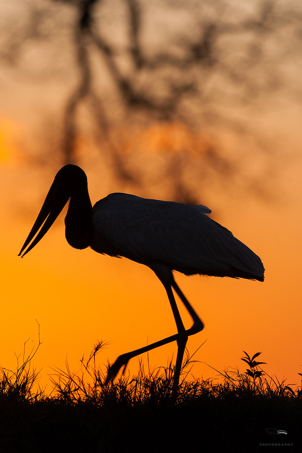 The sun sets behind a foraging Jabiru stork (Jabiru mycteria), The Pantanal, Brazil.