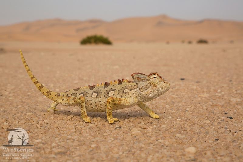 A gorgeous specimen of the Namaqua Chameleon in its awesomely hostile Namib coastal desert habitat.