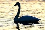 Whooper swan, Cygnus cygnus, floating, swimming on water, backlight by setting sun, silhouette, lake Kussharo-ko, Hokkaido Island, Japan, japanese, Asian, wilderness, wild, untamed, ornithology, snow, graceful, majestic, aquatic.Japan....