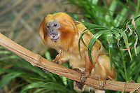 Germany, DEU, Muenster, 2004-Sep-15: A golden lion tamarin (leontopithecus rosalia) sitting on a branch in the Muenster zoo.