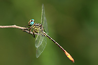 334090017 a wild male russet-tipped clubtail stylurus plagiatus perches on a dead stick in the lower rio grande valley of south texas