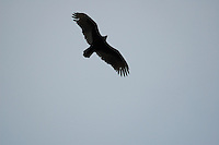 Vulture above Miflin Creek near Foley Alabama spring of 2008.