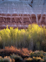Cottonwood trees and colorful cliffs. Capitol Reef National Park, Utah