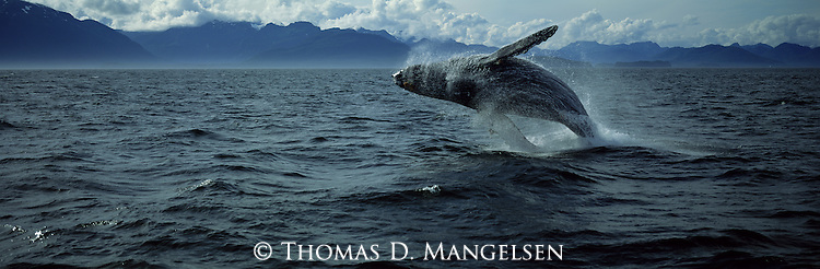 A humpback whale breaching in Chatham Straight in Southeast Alaska.