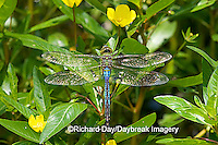 06361-005.07 Common Green Darner (Anax junius) male on Water Primrose (Ludwigia peploides) in wetland Effingham Co. IL