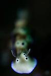 Risbecia tryoni nudibranch, Alor Island, Nusa Tenggara, Indonesia, Pacific Ocean
