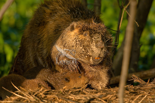 Beaver family in southern swamp.
