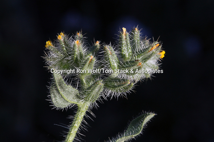 Checker Fiddleneck (Amsinckia tessellata) a/k/a Bristly Fiddleneck, Devil's Lettuce. This desert species is more bristly than the similar Common Fiddleneck (A. menziesii) widely found around the rest of the state. Butterbredt Spring. Kern Co., Calif.
