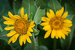 Roadside wildflowers in rural Amador County...Wyethia helenioides, mules ear sunflowers