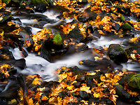 Starvation Creek and fall colored Big Leaf Maple leaves. Columbia River Gorge National Scenic Area, Oregon