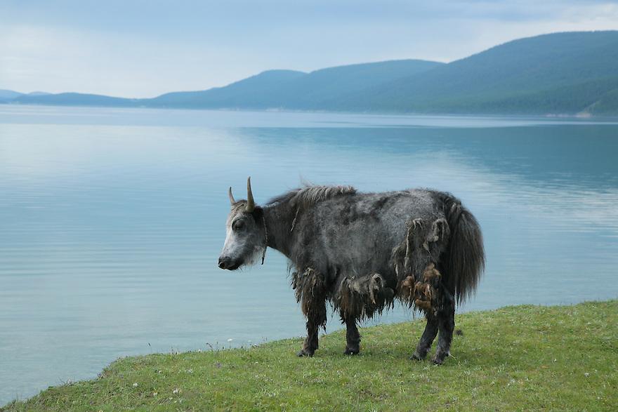 Yak at Lake Khovsgol Mongolia