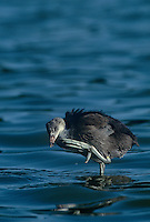 511897540 a wild american coot chick felica americana scratches its neck while wading in a small estuary near santa barbara california california