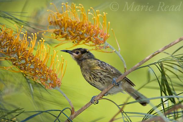 Macleay's Honeyeater (Zanthotis macleayana) attracted to feed at Grevillea flowers, Julatten, Queensland,  Australia.