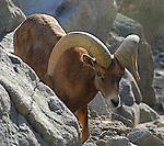 Peninsular bighorn sheep ram