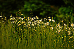 Wild Daisies decorate a field in northern Wisconsin.