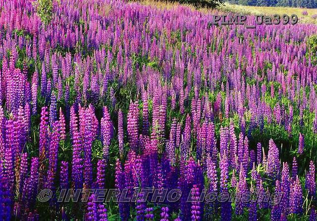 Marek, FLOWERS, BLUMEN, FLORES, photos+++++,PLMPUA399,#f#