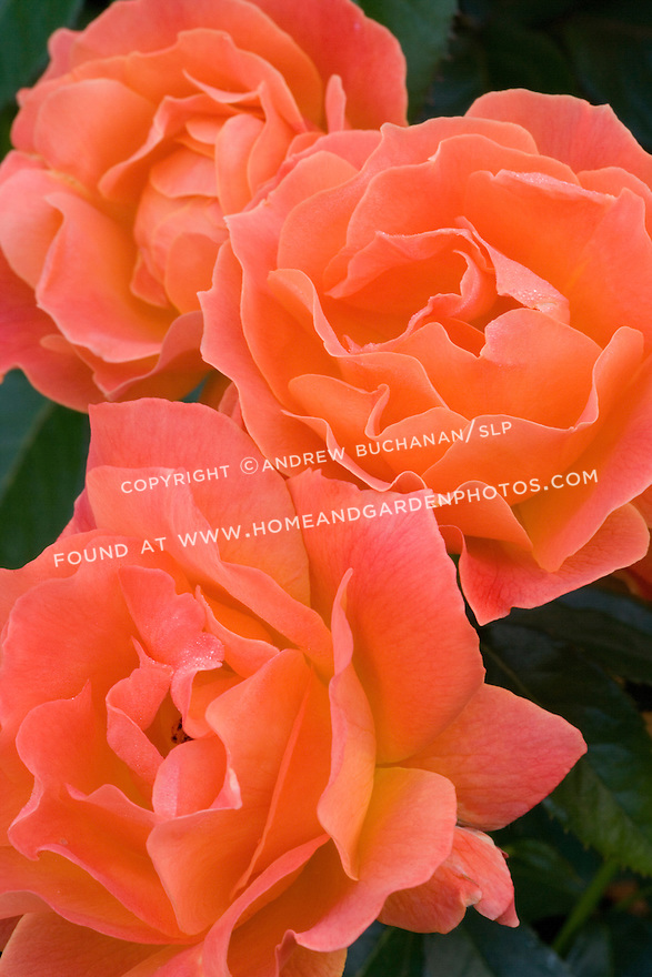 a close up detail shot of three vibrant orange red rose, their wavy rippled petals filling the frame with an explosion of vibrant color