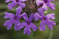 Prairie Verbena, Verbena bipinnatifida, blossom with morning dew, Uvalde County, Hill Country, Texas, USA