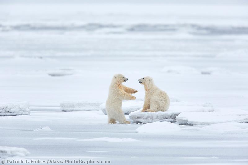 Cubs play on the Beaufort Sea ice, Arctic National Wildlife Refuge, Alaska.