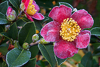 Frosty 'Yuletide' flower, red Camellia sasanqua December in California garden