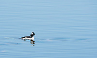 Male Bufflehead, Bucephala albeola, swims on Lake Ewauna, Oregon