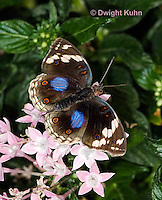LE45-558z  Blue Pansy Butterfly/Blougesiggie, Junonia oenone oenone, Africa