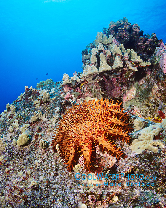 Crown-of-thorns star, Acanthaster planci, feeding on living coral polyps, venomous, Kona Coast, Big Island, Hawaii, Pacific Ocean