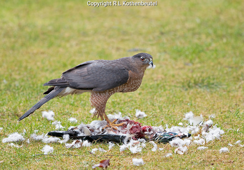 This adult female Cooper's hawk captured a male wood duck and proceeded to eat its flesh after removing most of its feathers.<br />