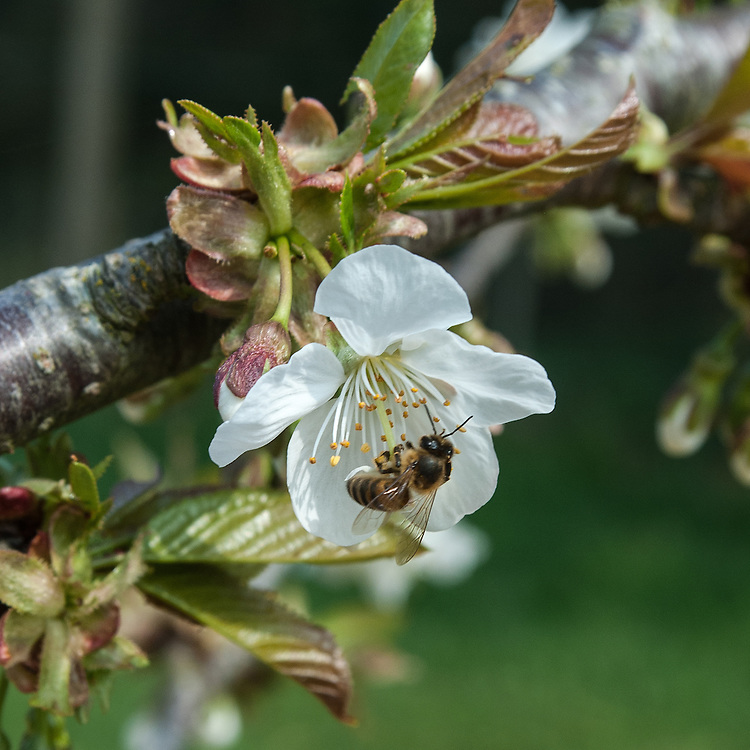 Bee on blossom of sweet cherry 'Colney', late April.