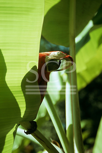 Brazil. Red and blue macaw peering over a banana leaf.