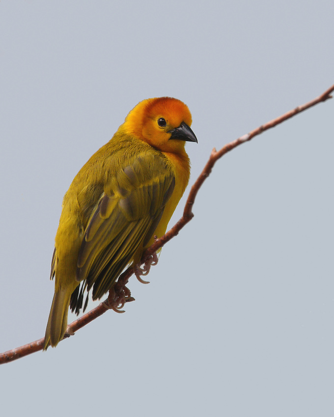 The Taveta Golden Weaver (Ploceus castaneiceps) is a species of bird in the Ploceidae family. It is found in Kenya and Tanzania.