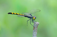 340440008 a wild female-like male seaside dragonlet erythrodiplax berenice perches on a dead plant stem along texas point in jefferson county texas